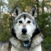 04012015_WolfDog