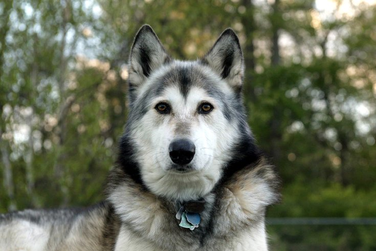 New Jersey man owns 12 wolf-dogs | PhillyVoice