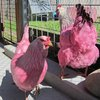 032915_pinkchickens