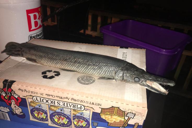 Alligator Fish Delco