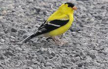 Limited - American Goldfinch Del Watershed