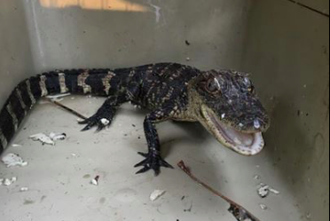 Save The Baby Alligator Found Strolling Through Montgomery County