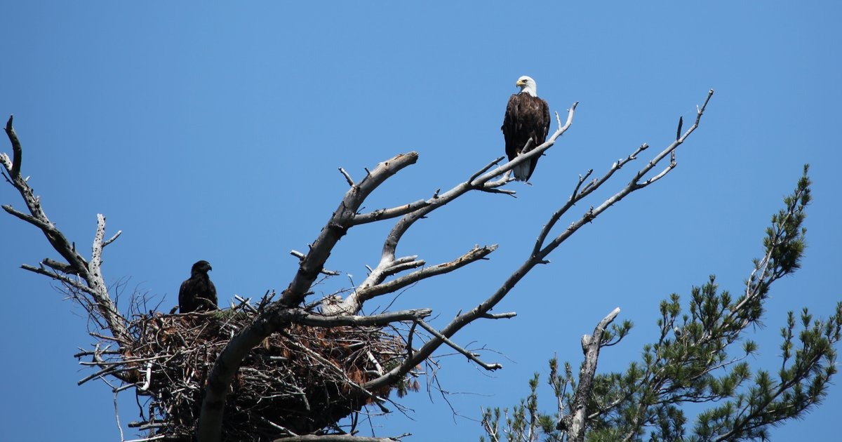 Eagle Nest Toppled Egg Destroyed In South Jersey Phillyvoice