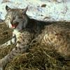 Bobcat picture