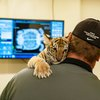 Carli Siberian tiger Six Flags