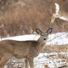 Stock_Carroll - Deer