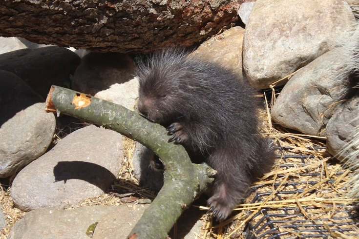 041516_porcupines