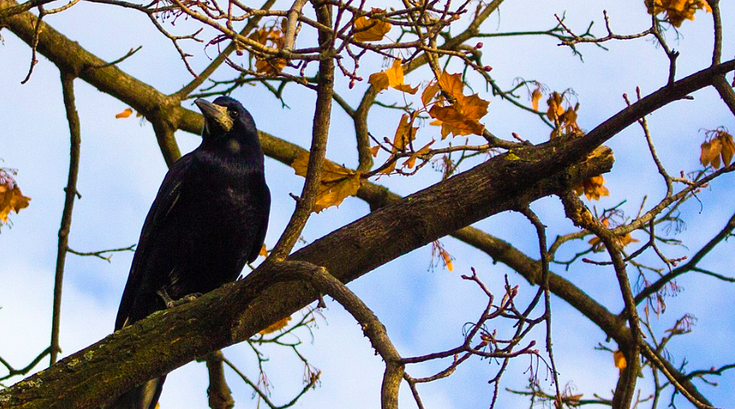 Crow branch