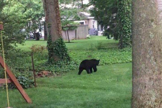Doylestown Bear