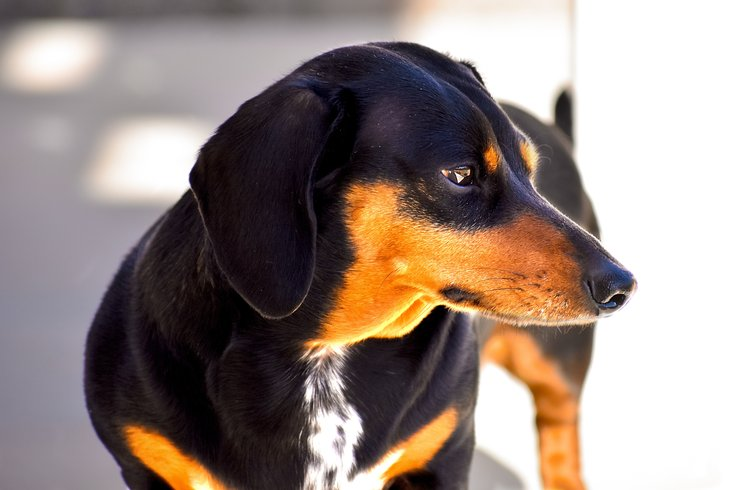 Lucky's Last Chance Great Wiener Dog Race happening in July