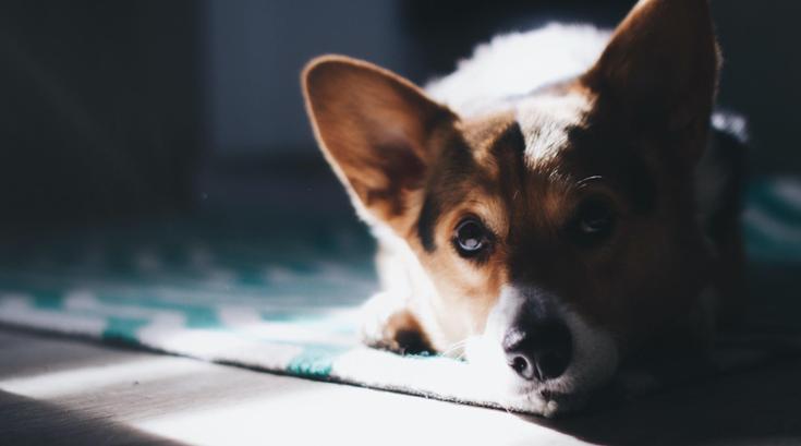 Dog lays on floor