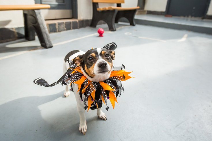 Dog in Halloween costume