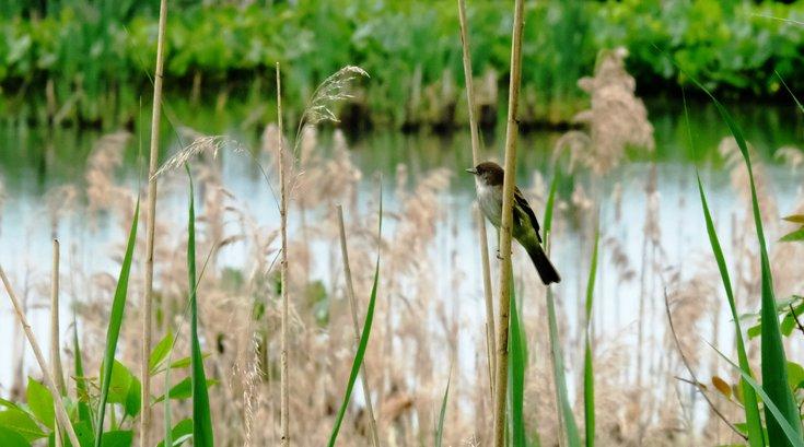 Limited - AWE House Sparrow
