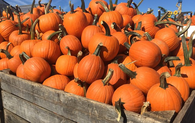 Pumpkins at Linvilla Orchards