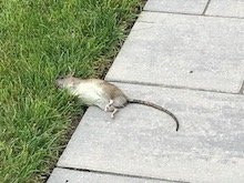 Rats in Longport