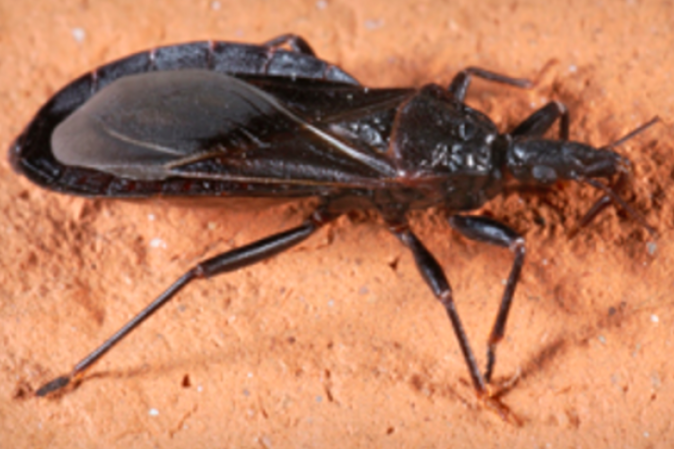 CDC: Deadly 'kissing bug' sighted in Pa., N.J. | PhillyVoice