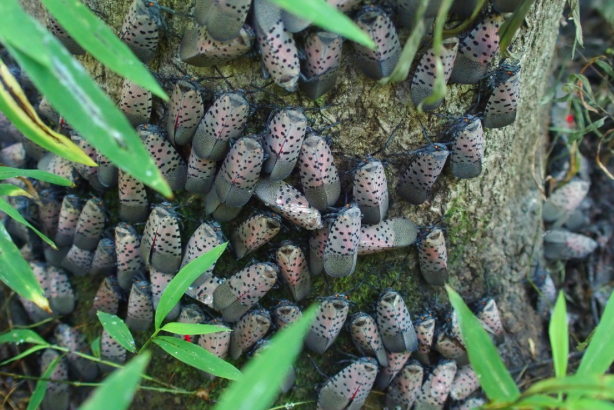spotted Lanternfly Cluster
