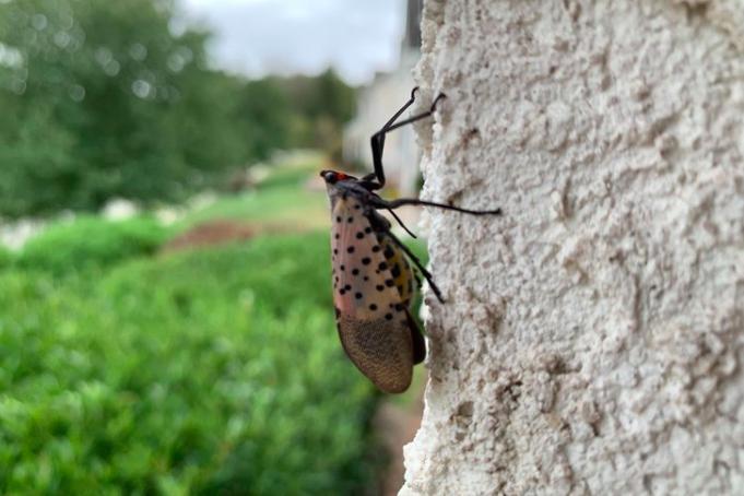 Spotted Lanternfly quarantine
