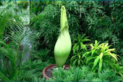 Corpse Flower Longwood