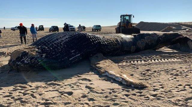 Humpback whale MERR