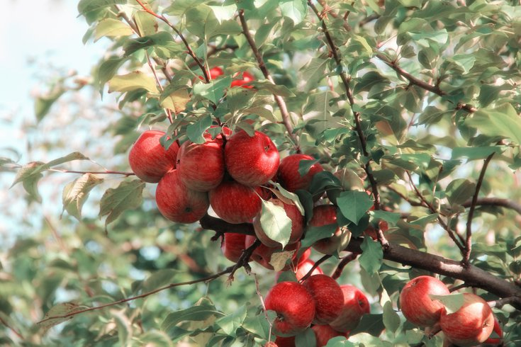 Apple Orchards Pennsylvania
