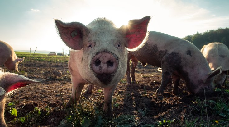 Organic Farms Don't Guarantee Animals Happiness