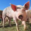 Swine Disease PA