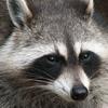 Raccoon ocean city