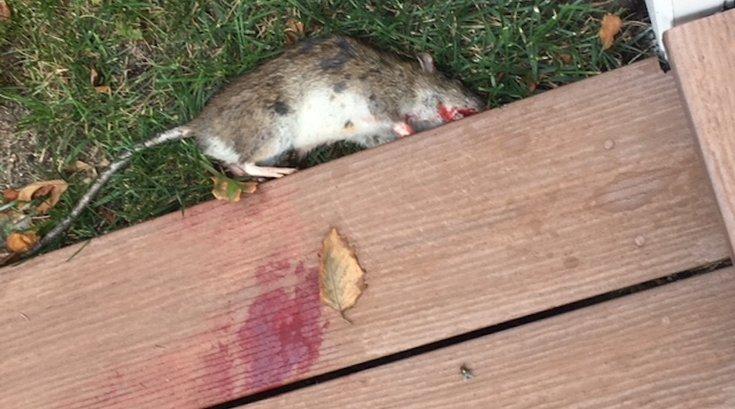 Rats in Longport