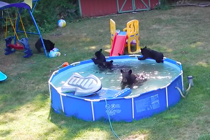 Bears in our pool - YouTube