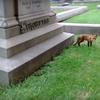 Fox in Laurel Hill