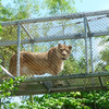 Zenda Philadelphia Zoo Lion