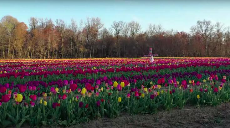 Dalton Farms tulips