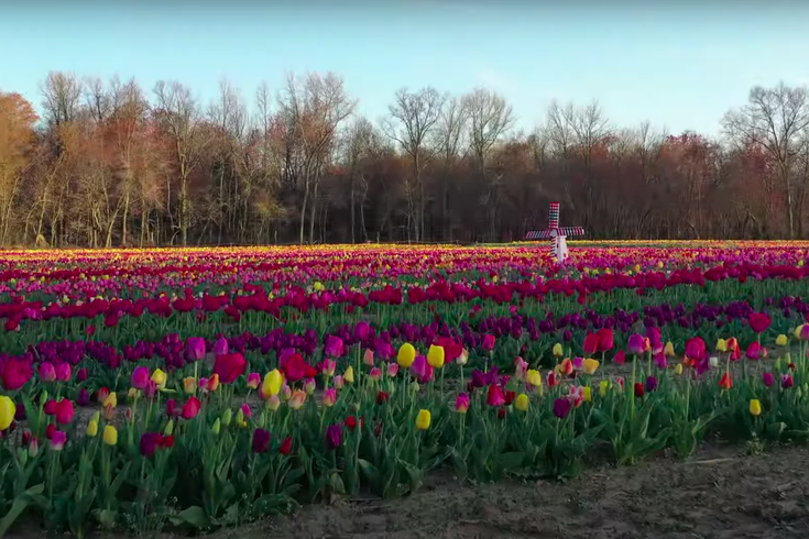 South Jersey Tulip Farm Ordered To Stop Drive Through Tour Due To