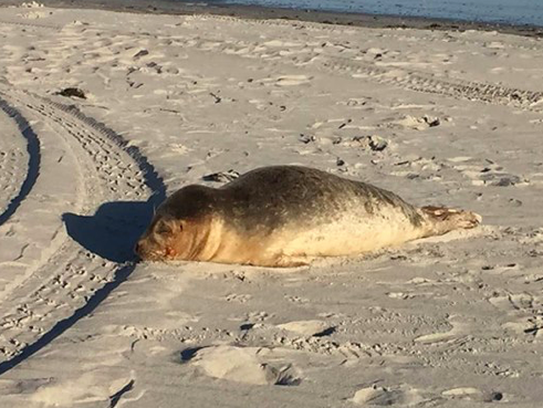 Baby seals are washing up at Jersey Shore, prompting action from marine vets | PhillyVoice