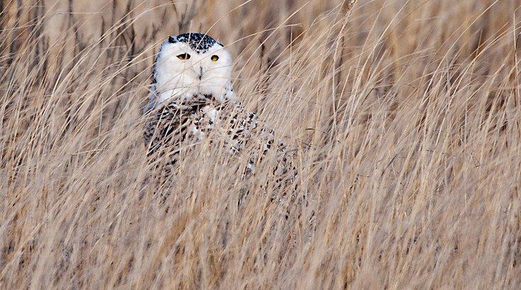 Snowy Owl Pennsylvania