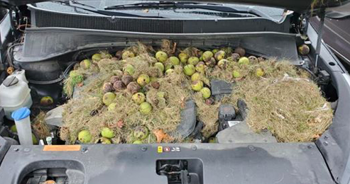 Photo shows squirrel's massive trove of walnuts found under hood of Pennsylvania car - EpicNews