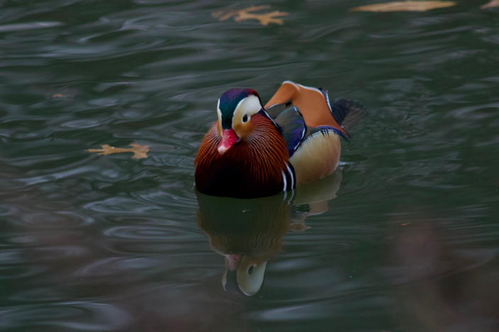 Straight Mandarin duck