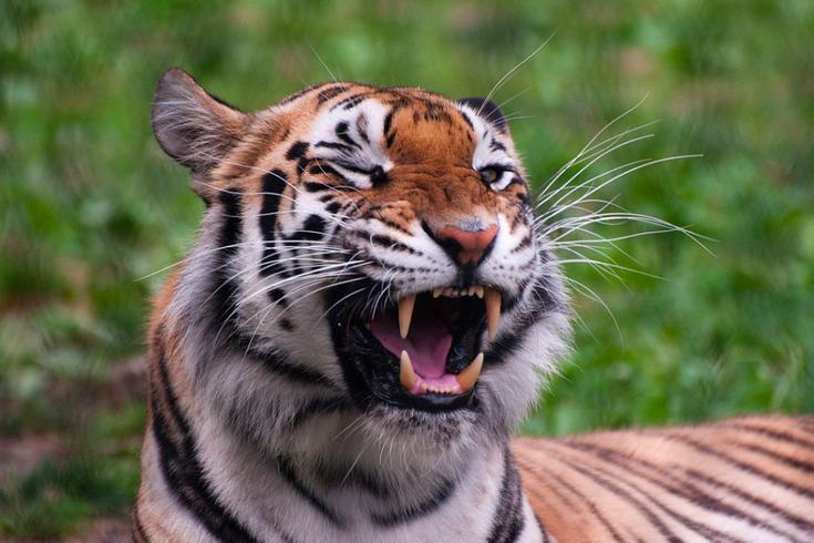 Tiger NJ