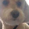 Toby poodle