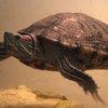 Missing Turtle