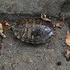 Wayward turtles