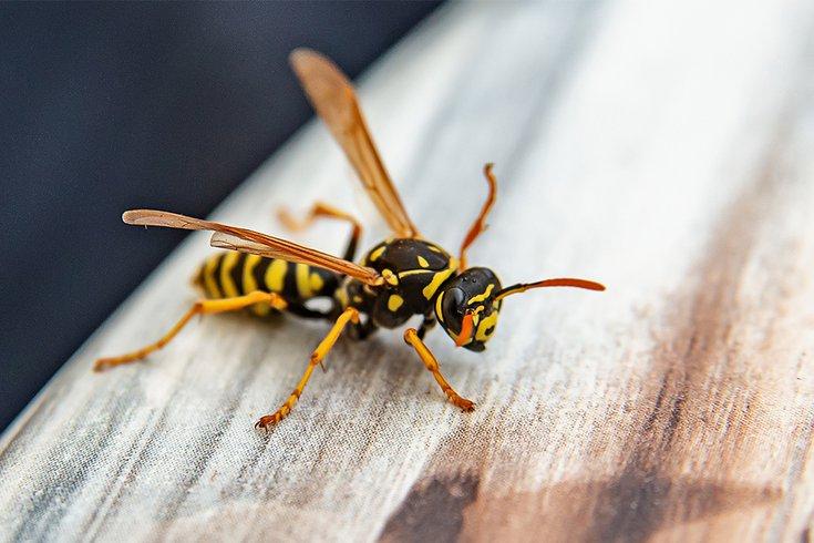 Wasp Venom Penn
