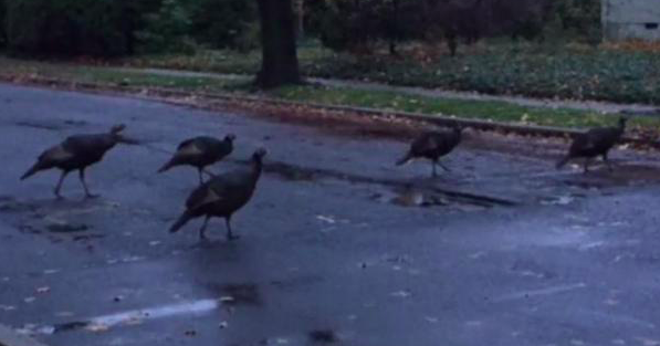 Hordes of wild turkeys flock to Toms River homes, weeks before Thanksgiving - EpicNews