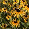 Limited - Alliance for Watershed Education - Yellow Flowers