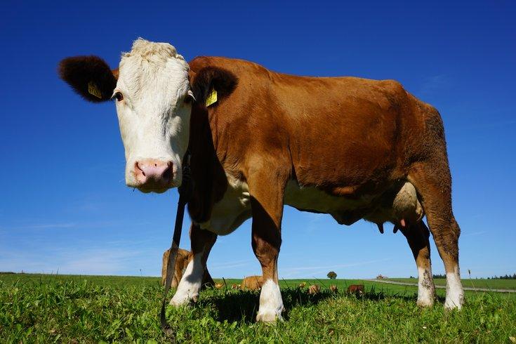 1,500-pound cow stolen, butchered roadside in western