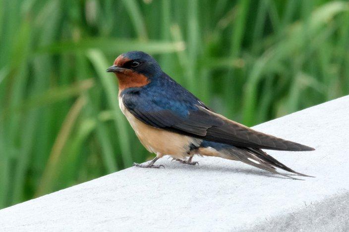 Limited - AWE Barn Swallow
