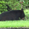 Black bear Chester County