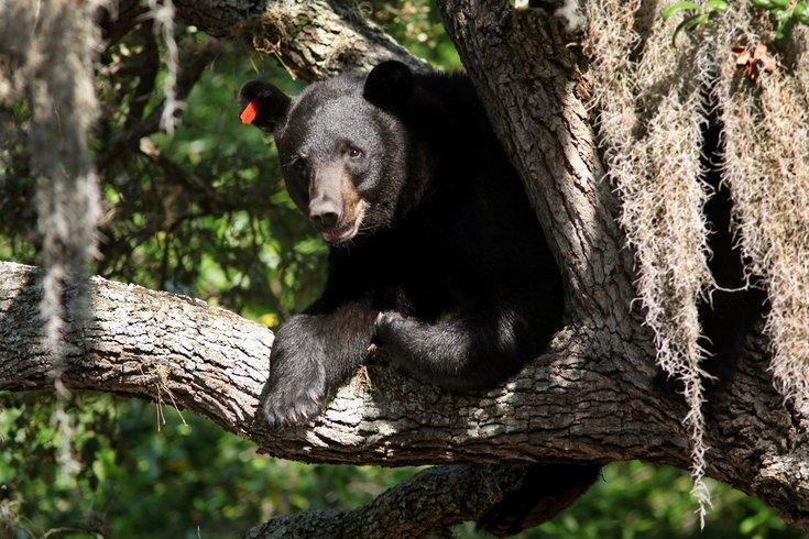 record Black Bear New Jersey