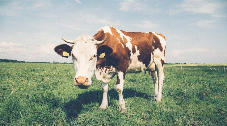 dairy cow pexels